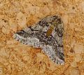 Brindled Beauty. Lycia hortaria (17782395368).jpg