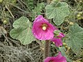 Bristly Hollyhock 01.jpg