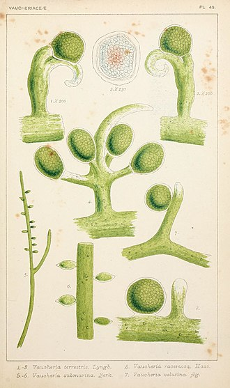 Yellow-green algae - Image: British fresh water algae, exclusive of Desmidieae and Diatomaceae (1882 1884) (19795451234)