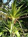 Brocchinia micrantha Habitus BotGardBln091006.JPG