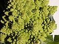 Broccoli DSCN4322.jpg