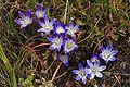 Brodiaea terrestris ssp. terrestris.jpg