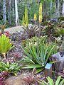 Bromeliads at Tamborine Mountain's own Botanical Gardens (4000728116).jpg