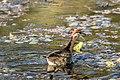 Bronze-winged jacana (Metopidius indicus) 06.jpg