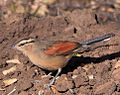 Brown-crowned Tchagra.jpg