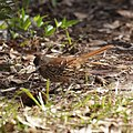 Brown Thrasher (7098674407).jpg