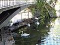 Bucuresti, Romania, Parcul Herastrau (Lebede); B-II-a-A-18802 (2).JPG