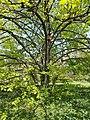 Buda Arboreta. Lower Garden, Tilia platyphyllos. - 2016 Újbuda.jpg