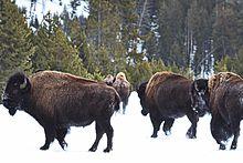 Sex ratio of bison at la brea