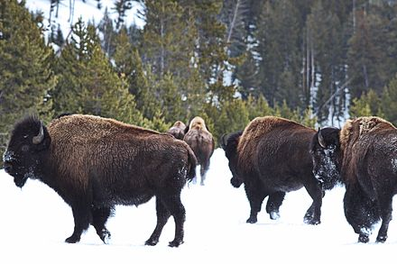 Herd of bison in Yellowstone National Park Buffalo Herd in Yellowstone.jpg