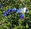 Buglossoides purpurocaerulea (14211667765).jpg