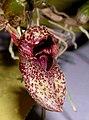 Bulbophyllum agastor Shatin Orchid Show, Hong Kong- (9207605336) - cropped.jpg