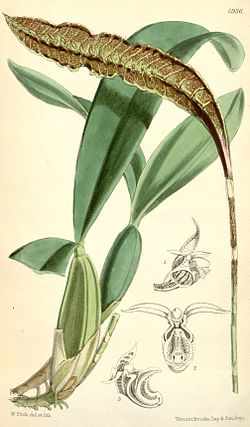 Bulbophyllum maximum (as syn. Megaclinium purpuratum) - Curtis' 97 (Ser. 3 no. 27) pl. 5936 (1871).jpg