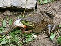 Bullfrog tries to swallow huge Goldfish - Fish survived.jpg