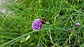 Bumblebee on chives in Glastonbury Abbey garden.jpg