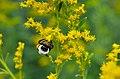 Bumle bee on goldenrod (44151274182).jpg