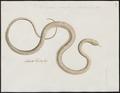 Bungarus caeruleus - 1734-1765 - Print - Iconographia Zoologica - Special Collections University of Amsterdam - UBA01 IZ11800109.tif