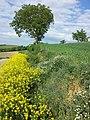 Bunias orientalis + Adonis aestivalis + Anthemis austriaca + Fumaria officinalis + Consolida regalis sl2.jpg