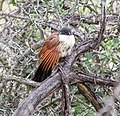 Burchells Coucal.jpg