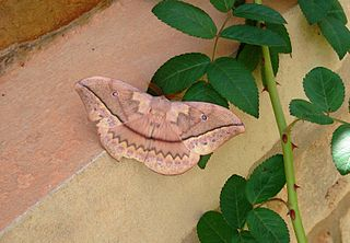 <i>Maltagorea</i> genus of insects