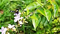 Butterfly in National Botanical Garden, Bangladesh Pic 2.jpg