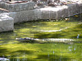 Byculla crocodile.jpg