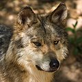 CMM MexicanWolf.jpg