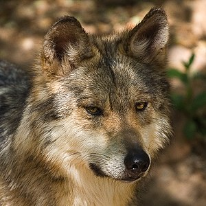 English: Mexican Wolf (Canis lupus baileyi) sh...