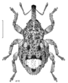 COLE Curculionidae Hiiracalles scitus 1.png