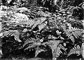 COLLECTIE TROPENMUSEUM Argostemma montanum. Rubiceae tussen varens Tjibodas TMnr 10006380.jpg
