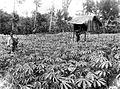 COLLECTIE TROPENMUSEUM Een akker met jonge cassave aanplant TMnr 10011258.jpg