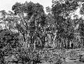 COLLECTIE TROPENMUSEUM Kinabos (Cinchona ledgeriana) met 43 jaar oude bomen TMnr 10012795.jpg