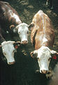 CSIRO ScienceImage 2303 Herefords.jpg