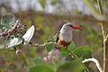 CV-santiago-kingfisher.jpg