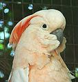 Cacatua moluccensis -Ardastra Gardens, Zoo and Conservation Centre, Nassau, Bahamas-8a.jpg