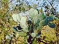 Cactus - panoramio - lilapagola.jpg