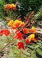 Caesalpinia pulcherrima kz2.jpg