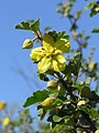 California Flannelbush (3660328476).jpg