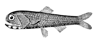 Deep scattering layer - Lanternfish account for as much as 65 percent of all deep sea fish biomass and are largely responsible for the deep scattering layer of the world's oceans