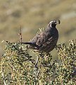 California quail on ceanothus bush close.jpg