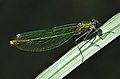 Calopteryx splendens qtl5.jpg