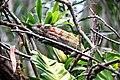Cameleon panthere furcifer pardalis (14).jpg