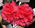 Camellia japonica in Zuschendorf 2018 (08).JPG