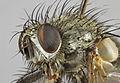 Campylocheta inepta, Berwyns, North Wales, July 2013 3 (17065887974).jpg