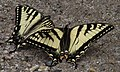Canadian Tiger Swallowtails (26765473970).jpg