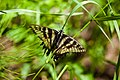 Canadian tiger swallowtail (20331440843).jpg