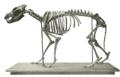 Canis dirus skeleton.png