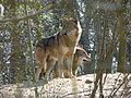 Canis lupus Stadt Haag zoo 03.jpg