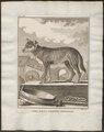 Canis lupus familiaris - 1700-1880 - Print - Iconographia Zoologica - Special Collections University of Amsterdam - UBA01 IZ22200001.tif