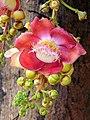 Canon Ball Tree Flower -(നാഗലിംഗ പൂവ്) (8723365470).jpg